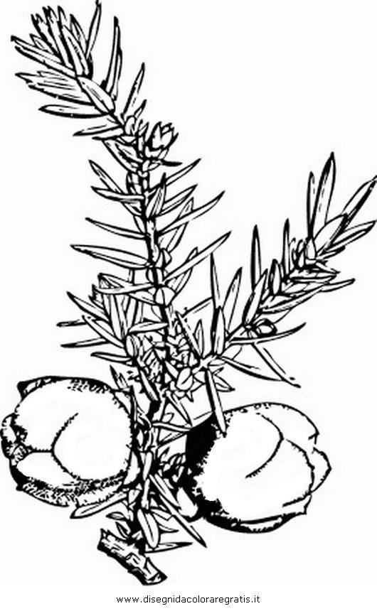 natura/alberi_speciali/ginepro_3.JPG