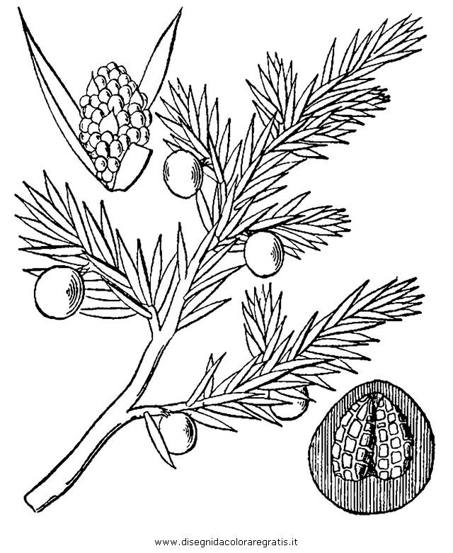 natura/alberi_speciali/ginepro_5.JPG