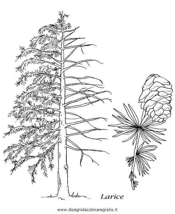 natura/alberi_speciali/larice.JPG