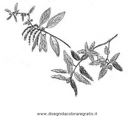 natura/alberi_speciali/leccio_5.JPG