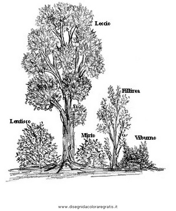 Disegno leccio 6 categoria natura da colorare for Foto di alberi da colorare