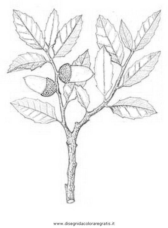 natura/alberi_speciali/leccio_7.JPG