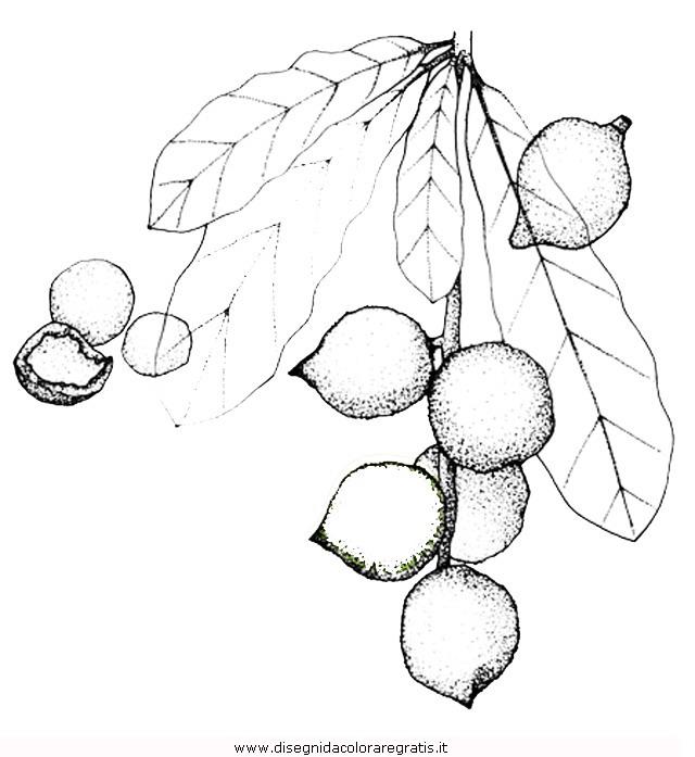 natura/alberi_speciali/macadamia.jpg