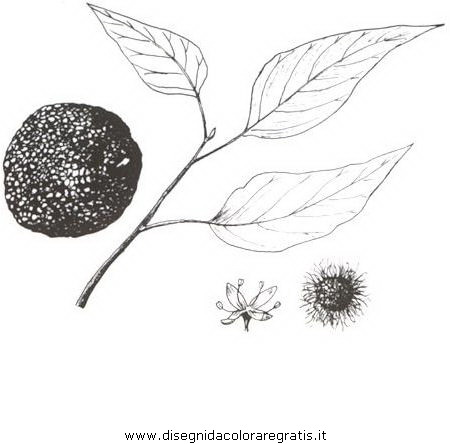 natura/alberi_speciali/maclura.JPG