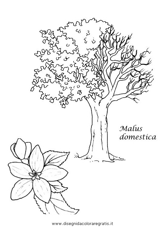 Disegno malus domestica categoria natura da colorare for Foto di alberi da colorare