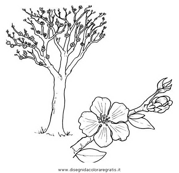 Disegno mandorlo categoria natura da colorare for Foto di alberi da colorare