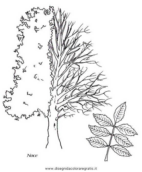 natura/alberi_speciali/noce.JPG