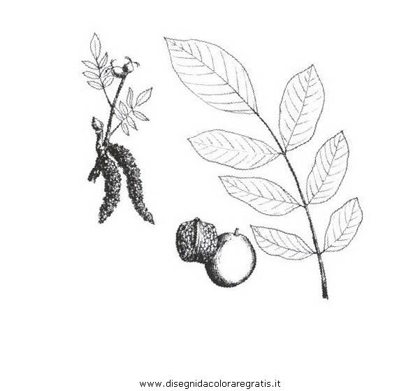 natura/alberi_speciali/nocecomune.JPG