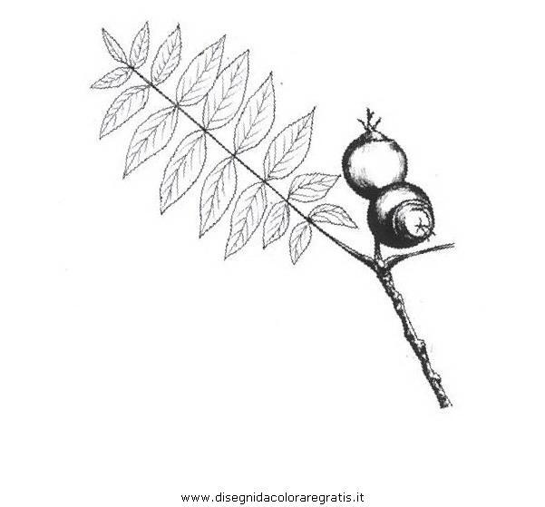 natura/alberi_speciali/nocenero.JPG