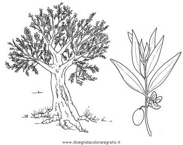 natura/alberi_speciali/olivo.JPG