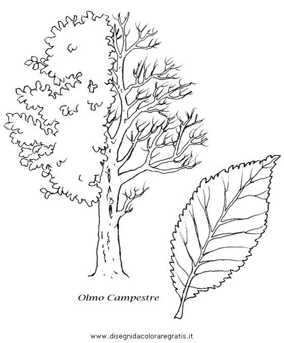 natura/alberi_speciali/olmo.JPG