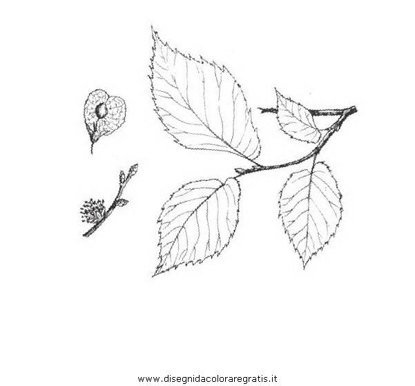 natura/alberi_speciali/olmominore.JPG