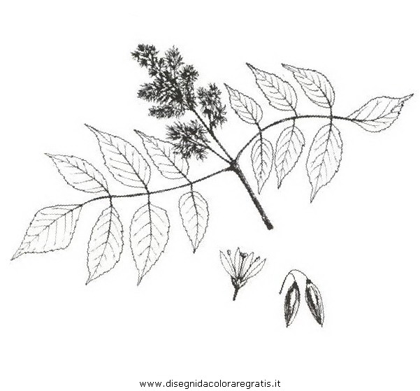natura/alberi_speciali/orniello.JPG