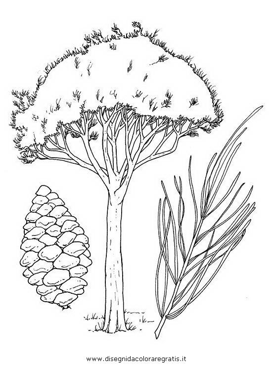 natura/alberi_speciali/pino_marittimo.JPG