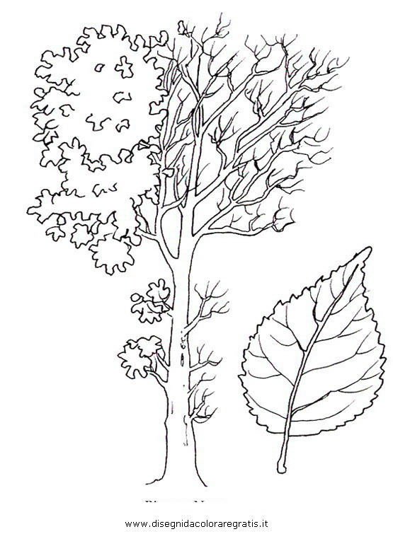 natura/alberi_speciali/pioppo2.JPG
