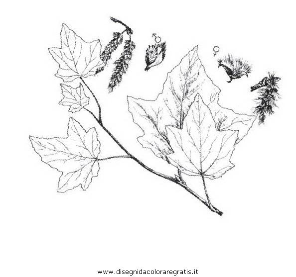 natura/alberi_speciali/pioppobianco.JPG