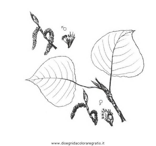natura/alberi_speciali/pioppodelcanada.JPG