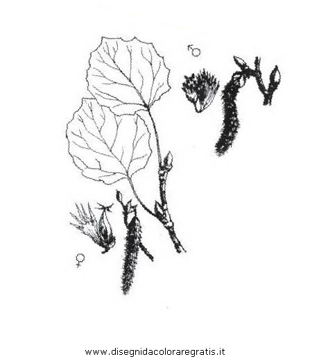 natura/alberi_speciali/pioppotremulo.JPG