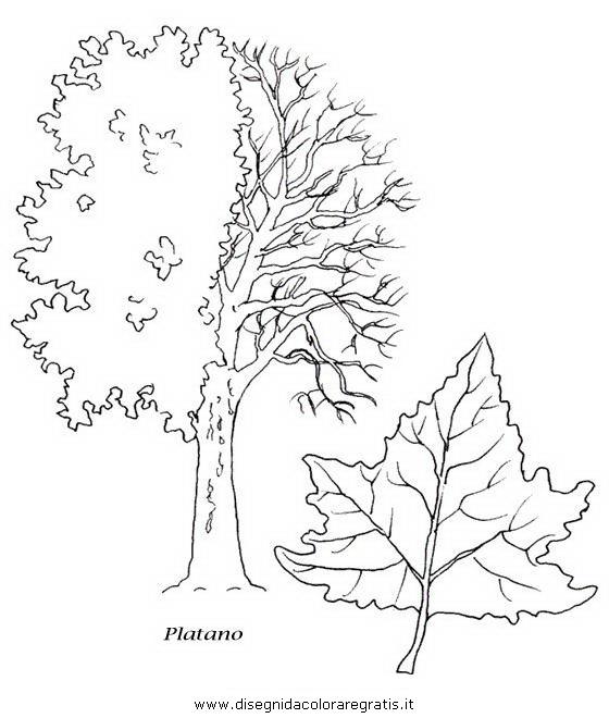 natura/alberi_speciali/platano.JPG