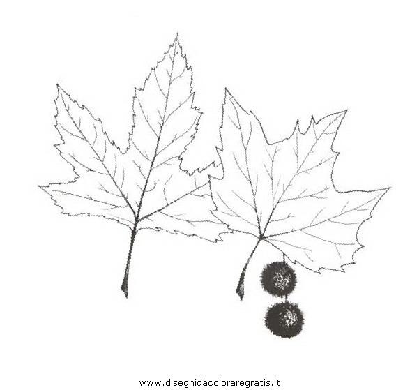 natura/alberi_speciali/platano_2.JPG