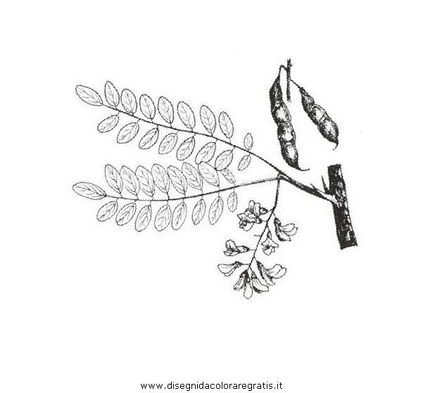 natura/alberi_speciali/robinia.JPG