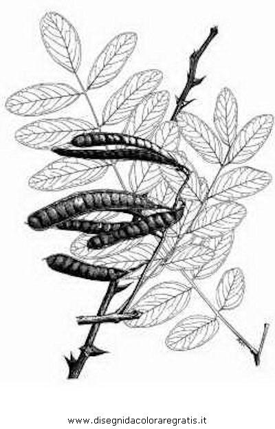 natura/alberi_speciali/robinipseudoacacia2.JPG