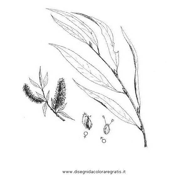 natura/alberi_speciali/salicebianco.JPG