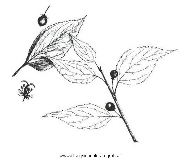 natura/alberi_speciali/spaccasassi.JPG