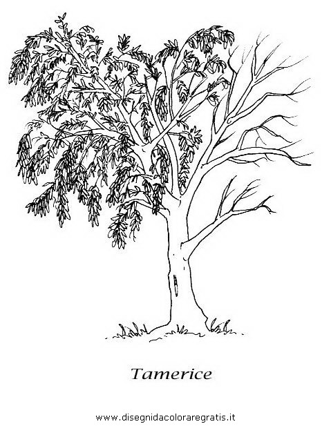 natura/alberi_speciali/tamerice.JPG