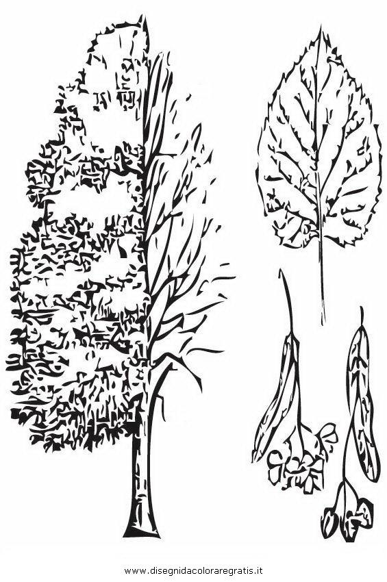 Disegno tiglio categoria natura da colorare for Foto di alberi da colorare