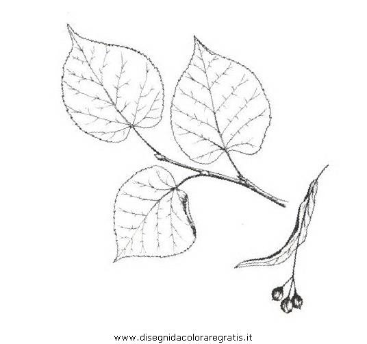 natura/alberi_speciali/tiglionostrano.JPG