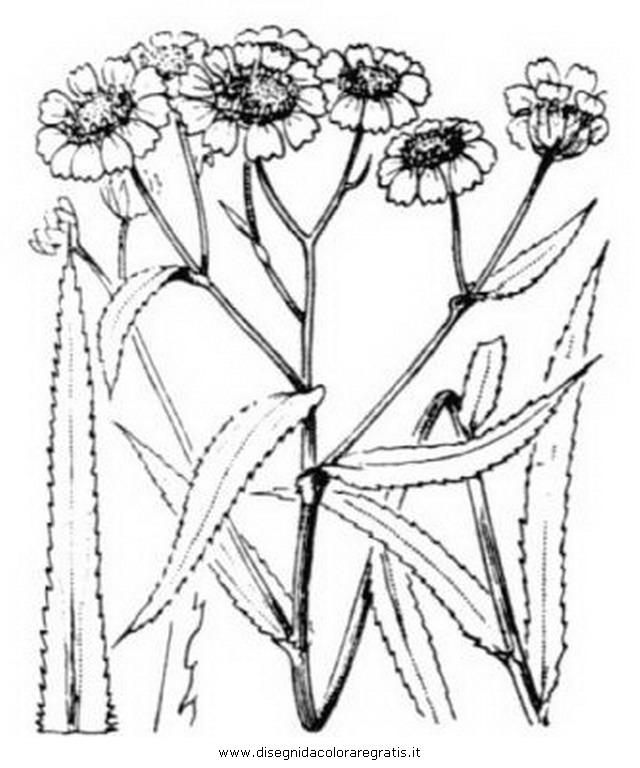 natura/arbusti/achillea_2.JPG