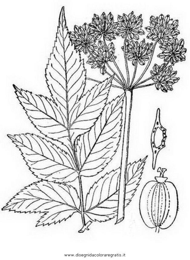 natura/arbusti/angelica_2.JPG