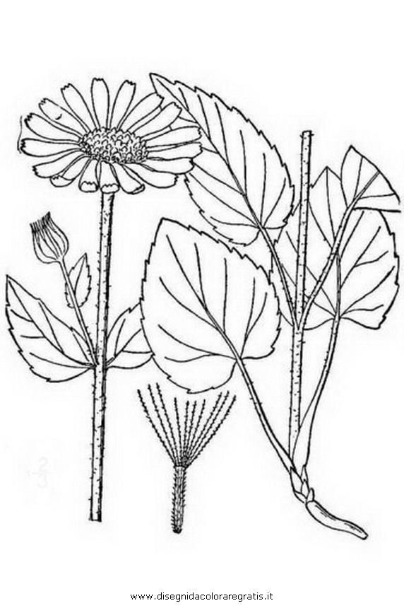 natura/arbusti/arnica.JPG