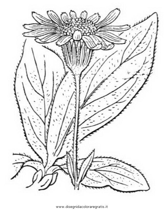 natura/arbusti/arnica_2.JPG