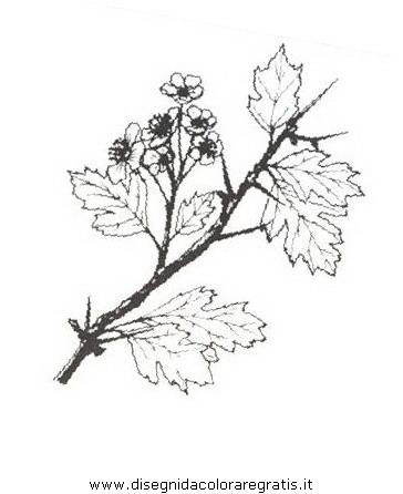 natura/arbusti/biancospino.JPG