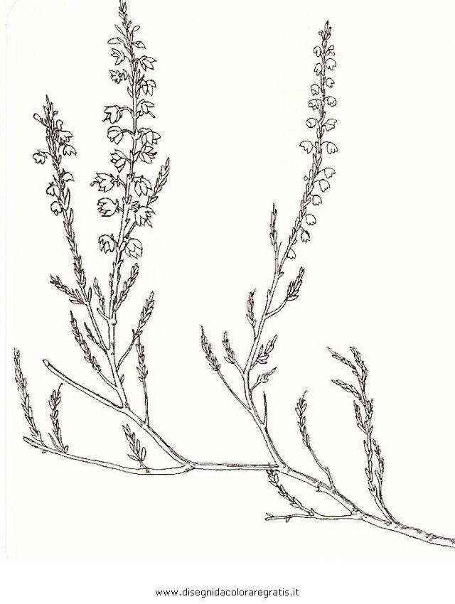 natura/arbusti/brugo.JPG