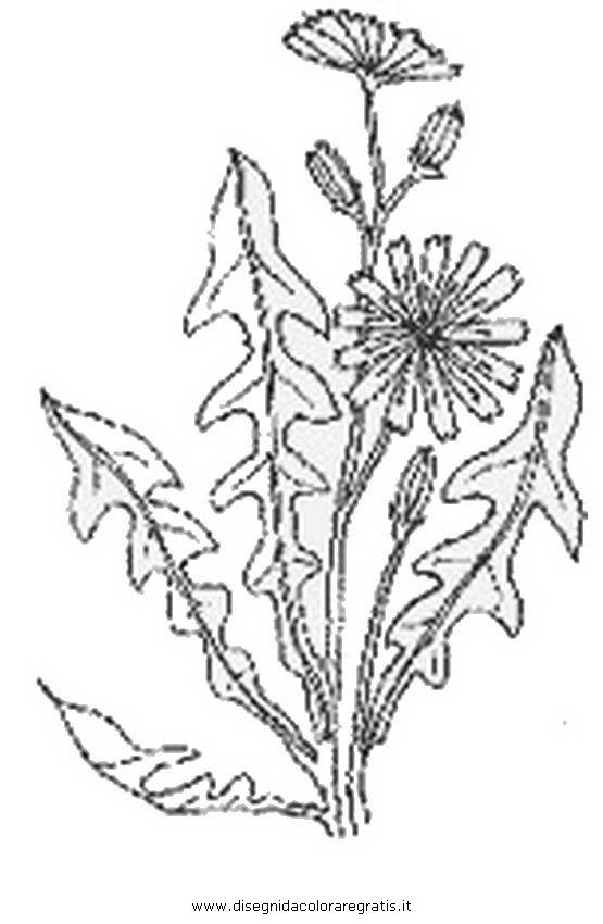 Disegni Piante Erbacee : Disegno cicoria categoria natura da colorare