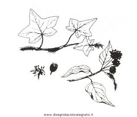 natura/arbusti/edera.JPG
