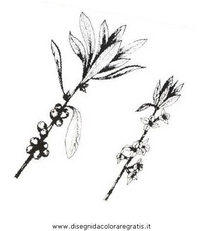 natura/arbusti/fiordistecco.JPG