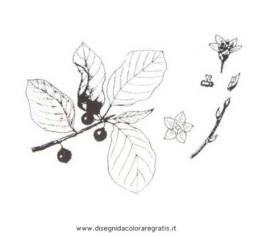 natura/arbusti/frangola.JPG