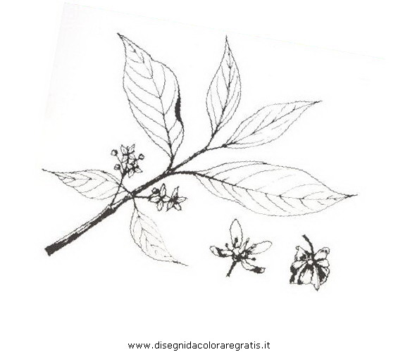 natura/arbusti/fusaggine.JPG