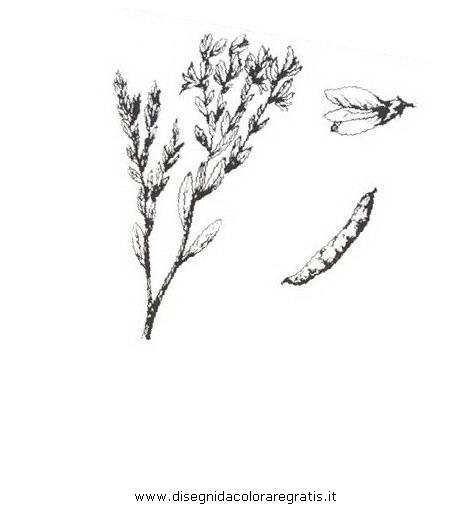 natura/arbusti/ginestrella.JPG