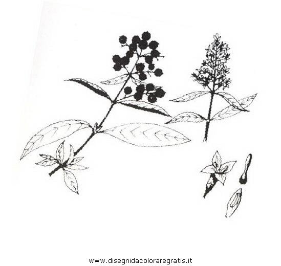 natura/arbusti/ligustro.JPG