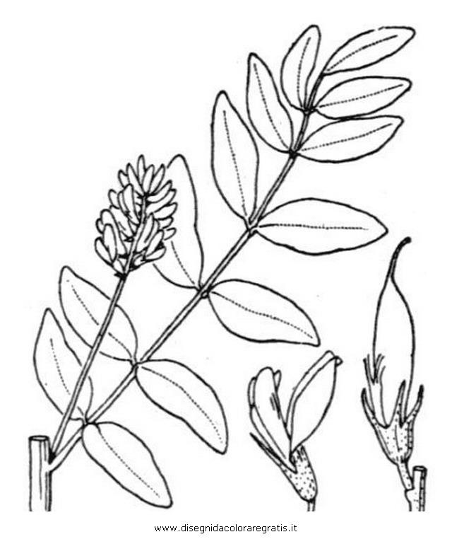 natura/arbusti/liquirizia.JPG