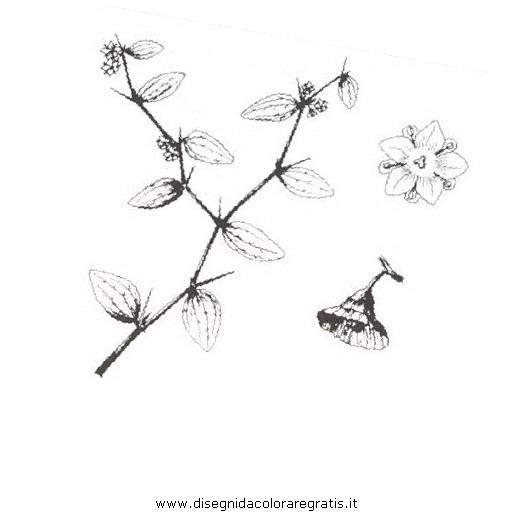 natura/arbusti/marruca.JPG