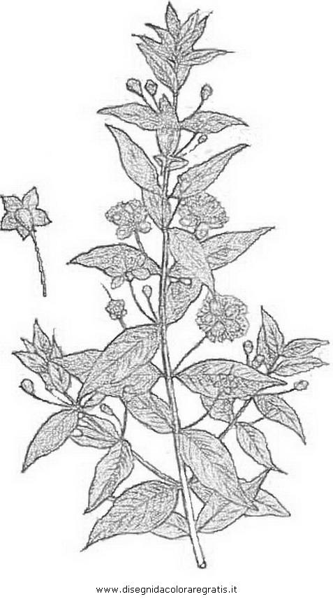 natura/arbusti/mirto_01.JPG