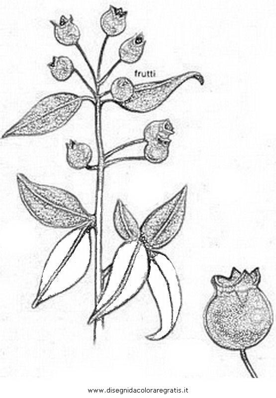 natura/arbusti/mirto_03.JPG
