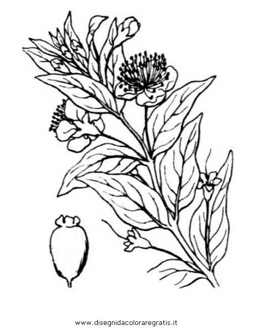 natura/arbusti/mirto_06.JPG
