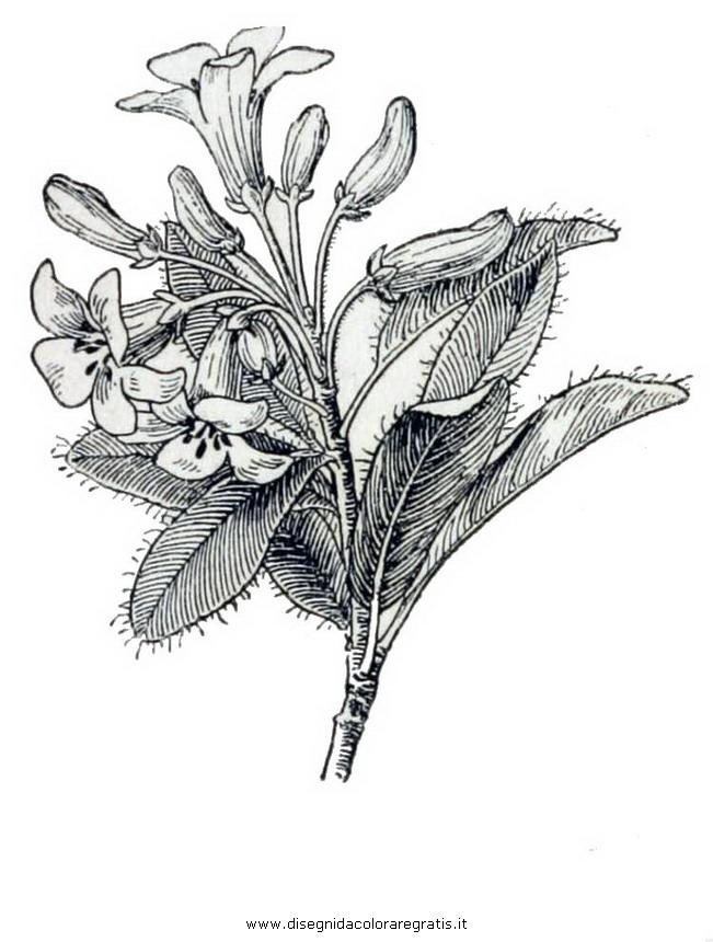 natura/arbusti/rododendro_irsuto.JPG
